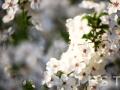white flowers,white flowers